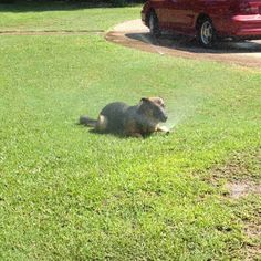 GSD ~ too funny.  Our Duke had a ball racing in and out of the sprinkler area on a hot day.  He was so much fun.