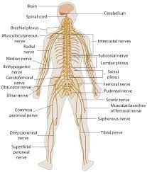 Human nervous system structure and functions explained with diagrams imagen relacionada ccuart Gallery