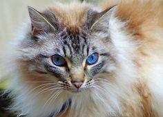 Blue Eyed Cat, France.