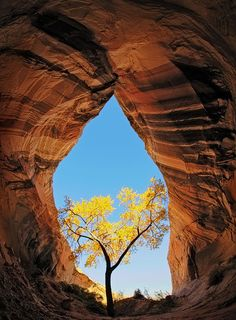 The only cottonwood tree for miles around is nurtured and protected from a harsh environment by the cool, moist soil found in this unique, teardrop shaped sandstone alcove on the Utah/Arizona borderlands. By John Mumaw