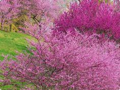 My second favorite time of year - redbud blooming season! My favorite is of course college football season :)
