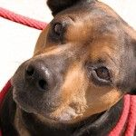 ADOPTED! Caspian, the Perfect Rottie Mix does Tricks for Treats!