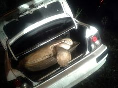 24 July 2014.  Giant leatherback sea turtle is set free from trunk after car chase and shoot out.
