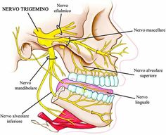 Looking for online definition of trigeminal nerve in the Medical Dictionary? What is trigeminal nerve? Meaning of trigeminal nerve medical term. What does trigeminal nerve mean? Dental Anatomy, Medical Anatomy, Dental Health, Oral Health, Dental Care, Trigeminal Neuralgia Symptoms, Nerve Anatomy, Human Anatomy, Dental Hygiene School