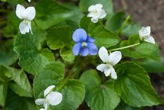 Violas in spring bloom | Plant & Flower Stock Photography ...