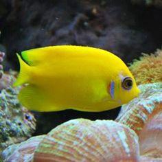 Lemonpeel Dwarf Angelfish