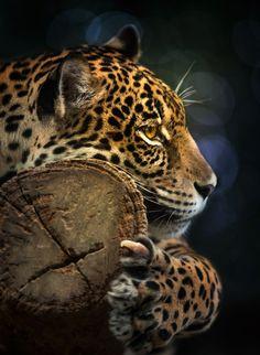 ~~Jaguar by Anek S~~ keep animals free! Pretty Cats, Beautiful Cats, Animals Beautiful, Nature Animals, Animals And Pets, Cute Animals, Jaguar, Gato Grande, Mundo Animal