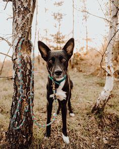 """Der süße @pawsomelifewithbalu in seinem Set bestehend aus pflegeleichtem Fettleder-Halsband in sommerlichem Türkis mit einer angenehmen Breite von 4 cm und der farblich perfekt passenden Leine mit Kletterseil """"Aquarius"""" 🥰 .Wie gefällt euch Balu in seinem individuellen Set? 🤗 Boston Terrier, Dogs, Animals, Dog Accessories, Linen Fabric, Climbing Rope, Pictures, Interesting Facts, Round Round"""