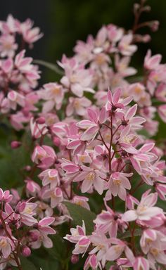 50 best plants for spring color images on pinterest in 2018 the first ever nikko type deutzia with pink flowers over mightylinksfo