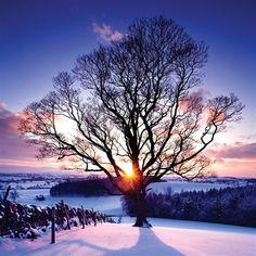 Winter sun through an ancient tree
