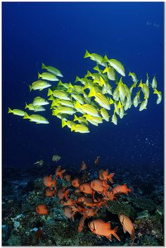 Maldives--schooling fish
