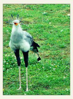 Secretarybird... (by Kami) 26.6.2009