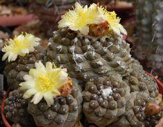 Copiapoa hypogaea subsp. hypogaea