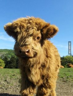 Baby Hyland Cow