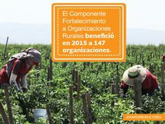 El Componente Fortalecimiento de Organizaciones Rurales benefició en 2015 a 147 organizaciones.