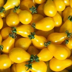 Graines Tomate cerise ancienne 'Yellow Pearshaped'