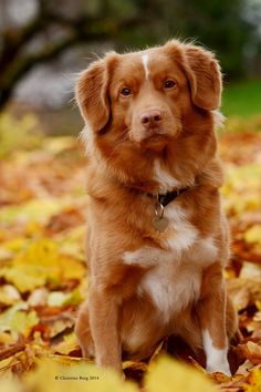 Tinka ~ Nova Scotia Duck Tolling Retriever Baby Dogs, Dogs And Puppies, Doggies, Nova Scotia Duck Tolling Retriever, Dog Day Afternoon, Australian Shepherd Dogs, Cute Dog Pictures, Purebred Dogs, Cute Cats And Dogs