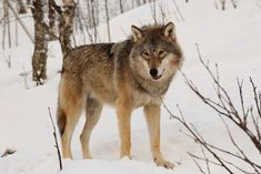 Endangered wolves are being slaughtered in Finland because hunters feel threatened by them. This is ridiculous and must be opposed. Wolves are majestic and social animals that must be protected, not massacred.