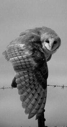 Greyscale Owl