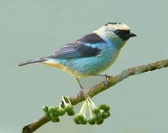GREEN-SILVER TANAGER