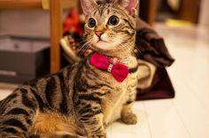 Кошки породы манчкин (фото): коротколапые обаятельные друзья  Смотри больше http://kot-pes.com/koshki-porody-manchkin-foto-korotkolapye-obayatelnye-druzya/