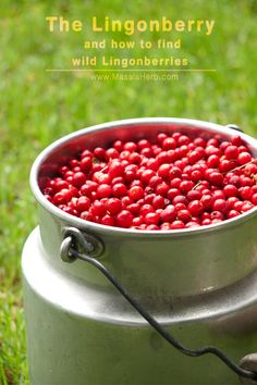 The Lingonberry and how to find wild Lingonberries so that you can make your own precious delicious Lingonberry Jam! Norwegian Recipes, Norwegian Food, Red Cupcakes, Norwegian Christmas, Florida Plants, Exotic Food, Camping Survival, Outdoor Projects, Organic Recipes