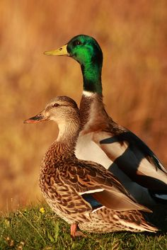 Mallards.  They mate for life....