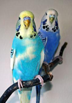 Terrors 2 by Wooblet on DeviantArt Parakeet Colors, Blue Parakeet, Budgie Parakeet, Budgies, Parrots, Funny Birds, Cute Birds, Pretty Birds, Beautiful Birds