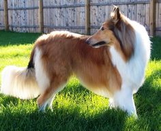 Rough Collie. I'd have trouble loving another dog after that one.... <3