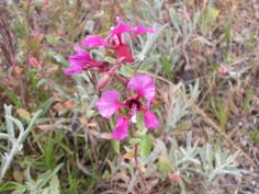 Red Ribbons, Claria elegans, from Jane Gate's guide to native plant ID in SoCal.