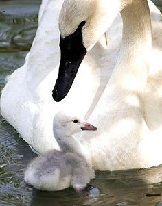 A male trumpeter swan tends to his newly hatched offspring at the Lincoln Park Zoo in Chicago.