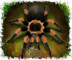 Mexican Red Knee Tarantula Daily Creature by NadilynBeatosArt, $10.00
