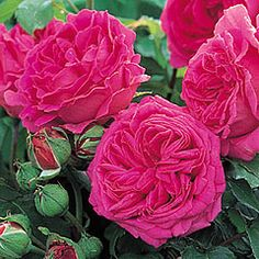 Mme Isaac Pereire - David Austin Roses  Huge, madder-crimson, cup shaped flowers with a powerful and a delicious fragrance.