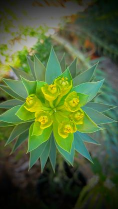The Gopher Plant is a strange evergreen. It works perfectly in the Texas or Southern garden as a smart xeriscape option. This drought tolerant plant wants full sun and well-drained soil with little clay. This beautiful plant is for sale at Sol'stice Garden Expressions in Dripping Springs, TX.