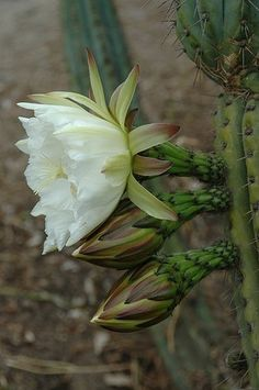 99 Trichocereus Pachanoi x Peruvianus Hybrid Cactus Seeds San Pedro x Peru Torch | eBay