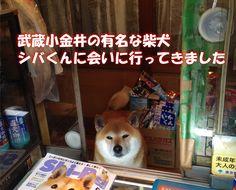 武蔵小金井のタバコ屋さんの看板犬 シバくんに会ってきた。