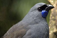 Kokako - so sweet and gorgeous. NZ birds really are treasures