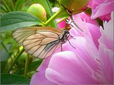 Butterfly peony...tender, healing hearts find each other.
