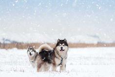 Alaskan Malamute Alaskan Husky, Alaskan Malamute, Cute Dogs Breeds, Dog Breeds, Dry Dog Nose, Short Dog, Dangerous Dogs, Pitbull Terrier, Beautiful Dogs