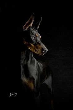The Doberman Pinscher is among the most popular breed of dogs in the world. Known for its intelligence and loyalty, the Pinscher is both a police- favorite I Love Dogs, Cute Dogs, Black And Tan Terrier, Doberman Pinscher Dog, Doberman Puppies, Doberman Love, Beautiful Dogs, Dog Life, Dog Training