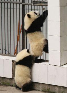 脱走パンダ