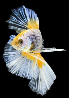 Some interesting betta fish facts. Betta fish are small fresh water fish that are part of the Osphronemidae family. Betta fish come in about 65 species too! Betta Aquarium, Freshwater Aquarium Fish, Colorful Fish, Tropical Fish, Betta Fish Care, Carpe Koi, Fish Wallpaper, Siamese Fighting Fish, Ocean Creatures