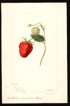 heaveninawildflower:   Strawberry (1897). Illustration by Deborah Griscom Passmore (1840-1911).Image and text courtesy U.S. Department of Agriculture Pomological Watercolor Collection. Rare  and Special Collections, National Agricultural Library, Beltsville, MD  20705