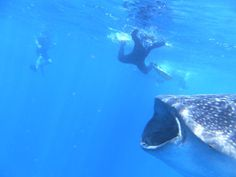 Pink Pangea Feature: Swimming with Whale Sharks Shark In The Ocean, Swimming With Whale Sharks, Gulf Of Mexico, Caribbean Sea, Digital Camera, Adventure, Animals, Animales, Animaux