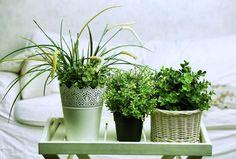 plantes amies combattant l'insomnie et le stress dans la chambre