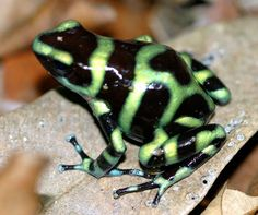 frogs | Frogs and Lizards of Costa Rica