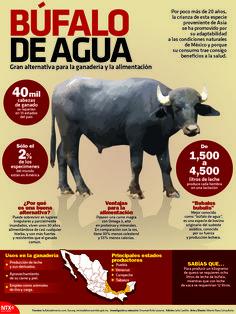 El Búfalo de agua es una gran alternativa para la ganadería y la alimentación. #InfografíaNotimex