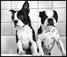 Dog - Boston Terrier - Lola et Higgy on www.yummypets.com