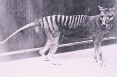 The Thylacine or Tasmanian Tiger was the largest carnivorous marsupial until it's extinction in Can you believe these guys had pouches? Tasmanian Tiger, Tasmanian Devil, Animal Species, Endangered Species, List Of Cryptids, Australian Animals, Australian Bush, Extinct Animals, Cryptozoology