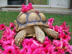 I have seen numerous suggestions for Russian tortoise diet Some great Some awful. Russian Tortoises are nibblers and appreciate broad leaf plants. Tortoise Habitat, Baby Tortoise, Sulcata Tortoise, Giant Tortoise, Tortoise Turtle, Tortoise House, Reptiles, Lizards, Animals Beautiful